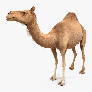 3d model camel standing pose