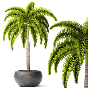 palm wodyetia bifurcata 3d model
