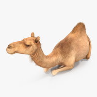 3d model camel sitting pose
