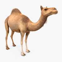 Camel Standing Pose with Fur 3D Model