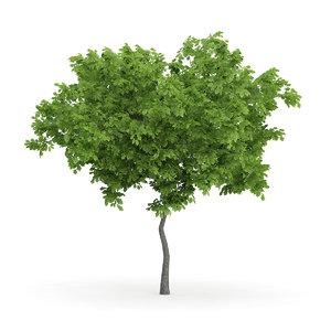 3d wild service tree sorbus