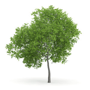3d model wild service tree sorbus