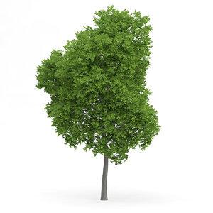 wild service tree sorbus c4d