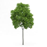 3d wild service tree sorbus model