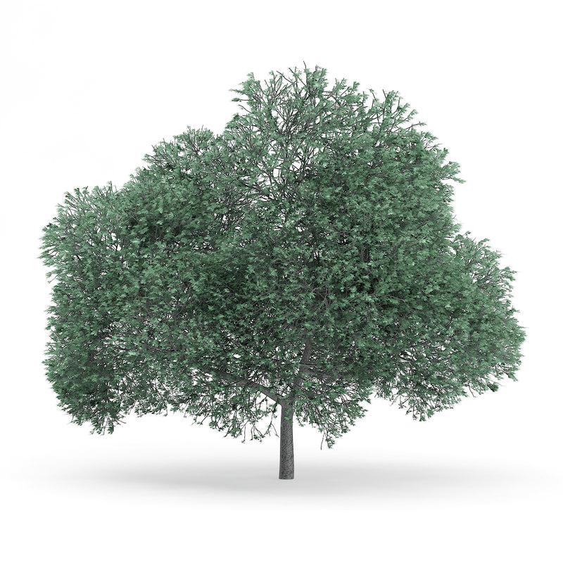 english oak quercus robur 3d model
