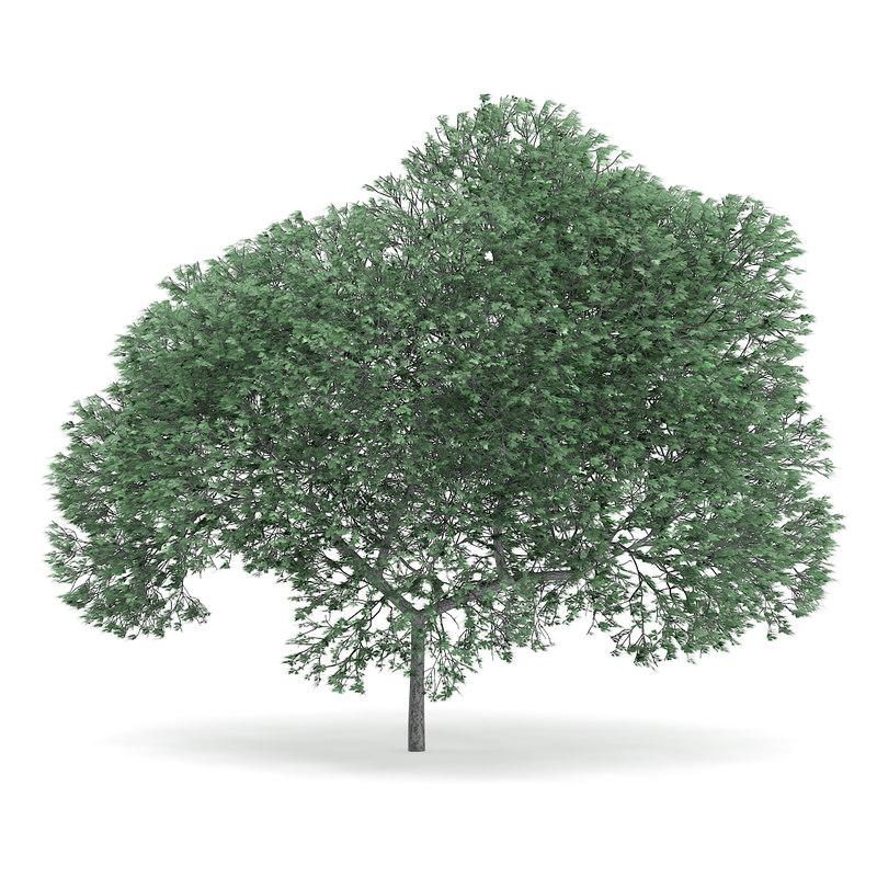 3d english oak quercus robur