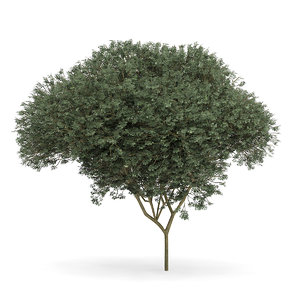 sycamore maple acer pseudoplatanus 3d model