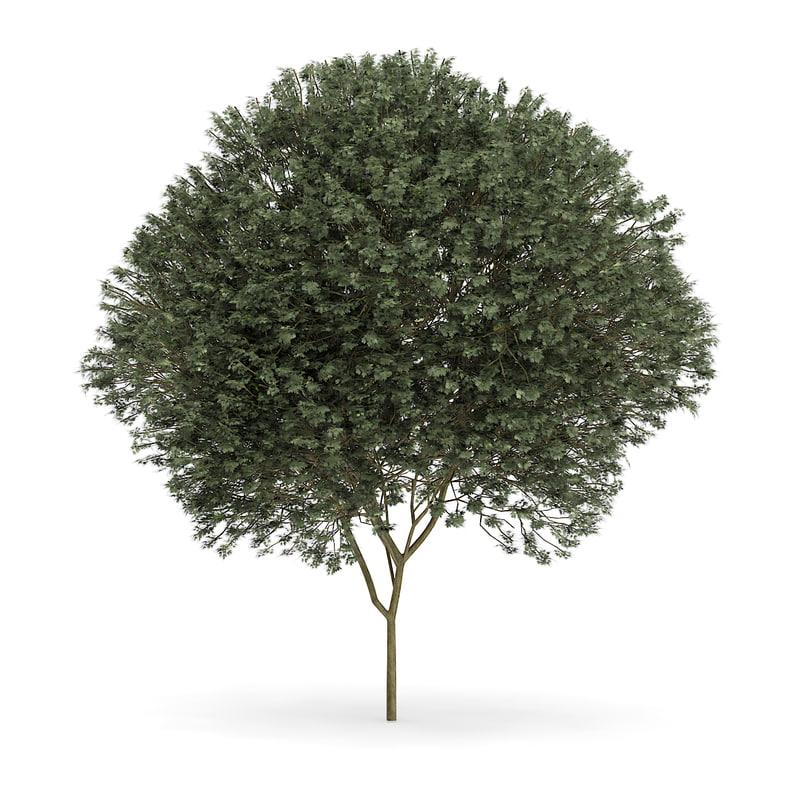 max sycamore maple acer pseudoplatanus