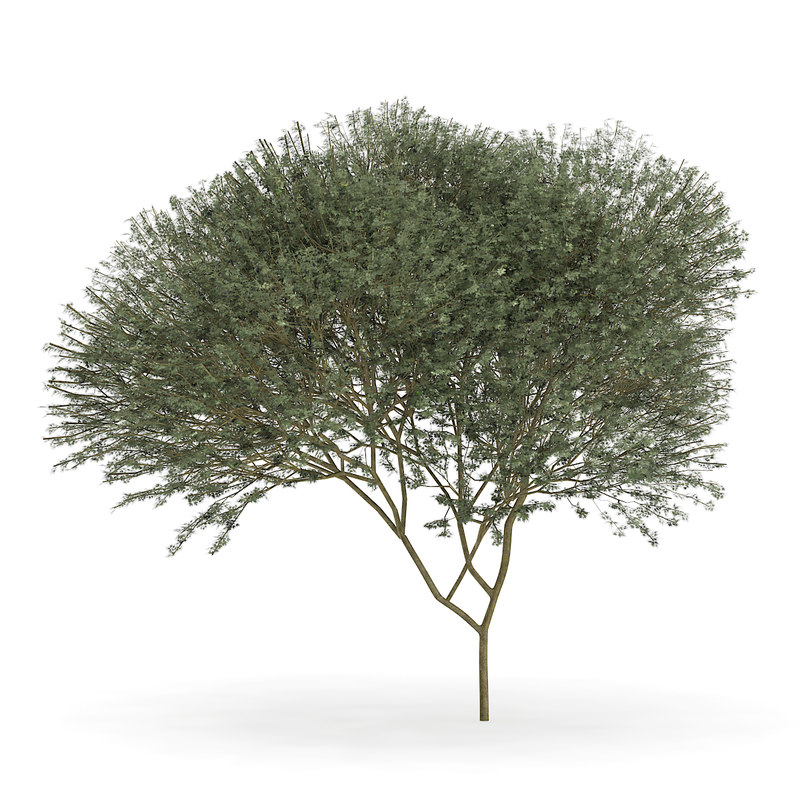 sycamore maple acer pseudoplatanus 3d model