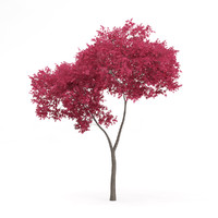 palmate maple acer palmatum 3d model