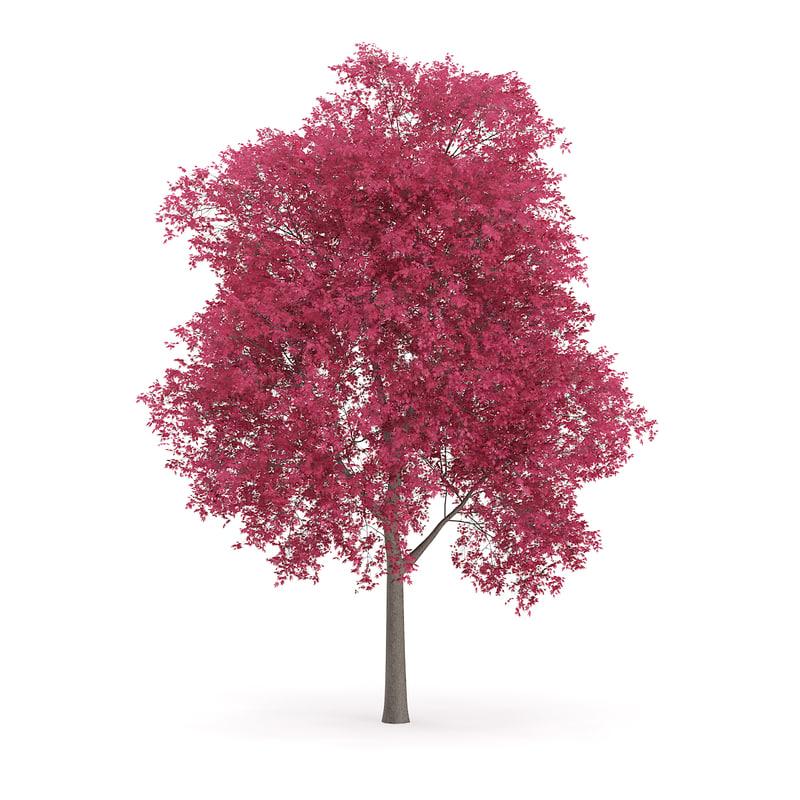 3d palmate maple acer palmatum
