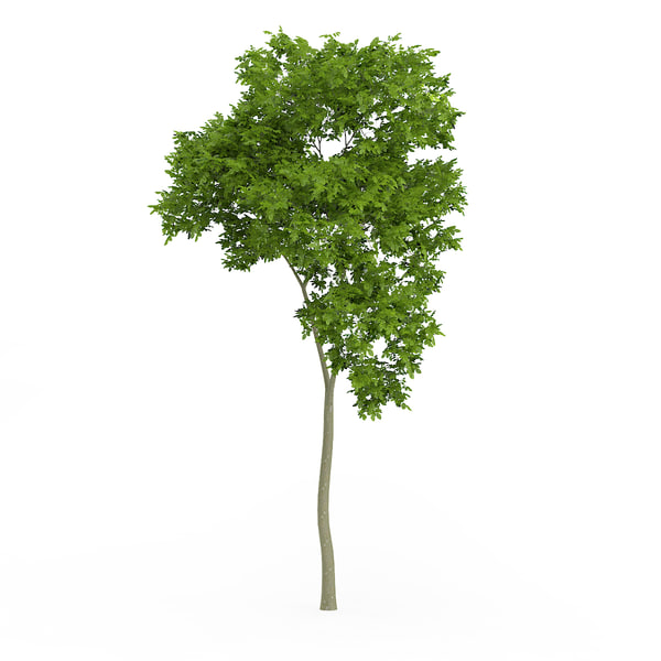 common beech fagus sylvatica 3d max