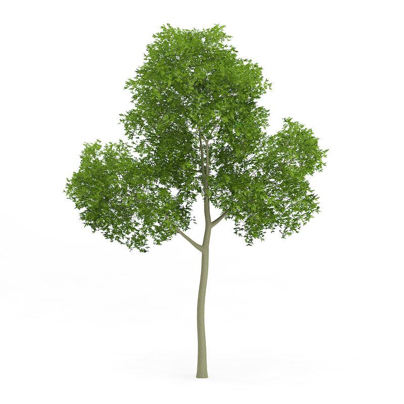 common beech fagus sylvatica 3d model