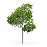 3d common beech fagus sylvatica model