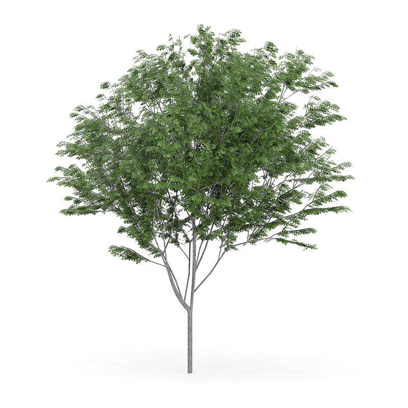 3d model common ash fraxinus excelsior
