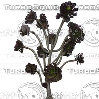Aeonium Arboreum Dark Purple Houseleek Tree Texture