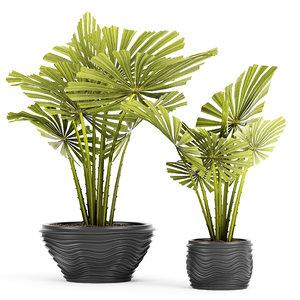 3d palm licuala spinosa