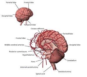 3d model human brain