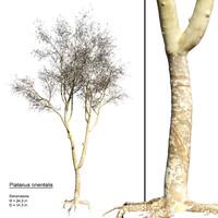 3d model realistic platanus orientalis