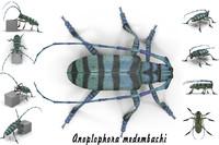 anoplophora medembachi beetle max