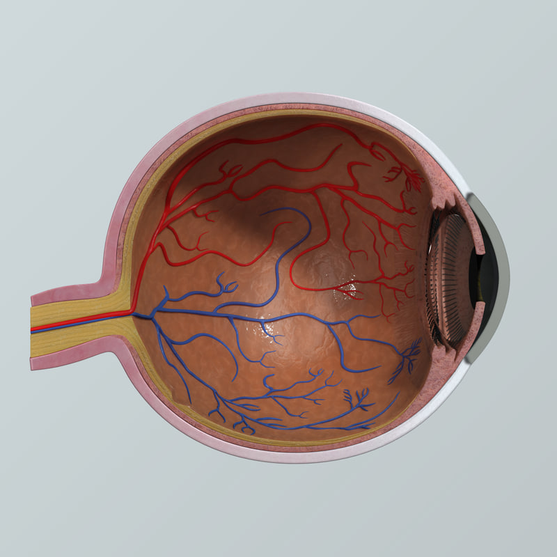 max human eye anatomy