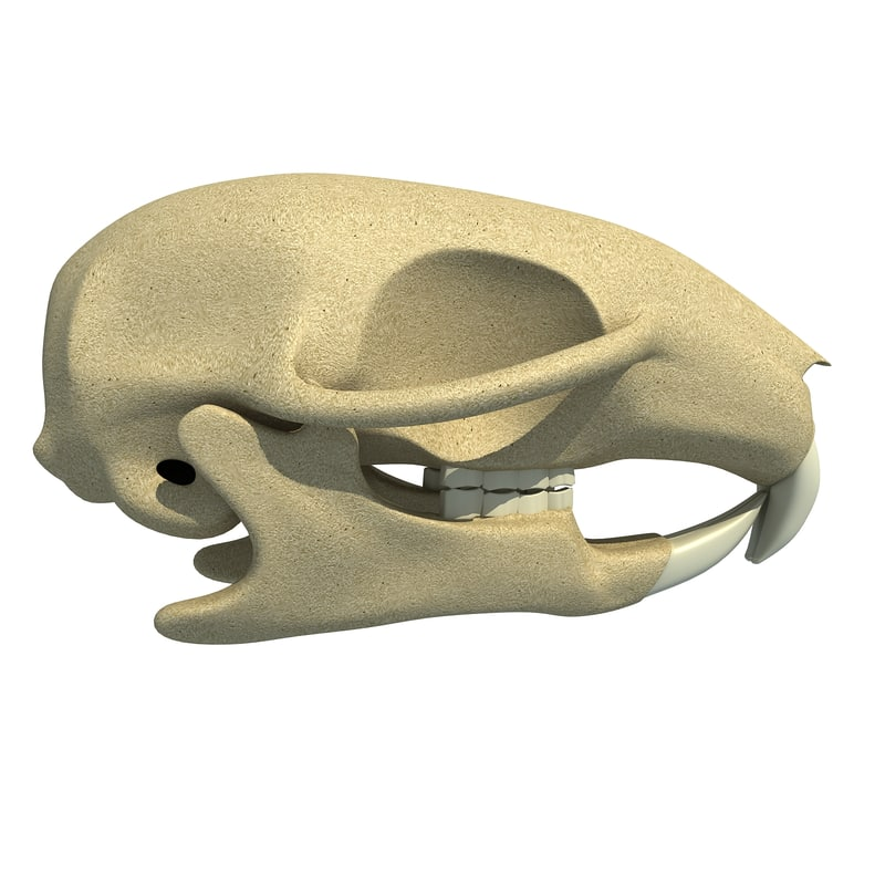 3d squirrel skull skeleton