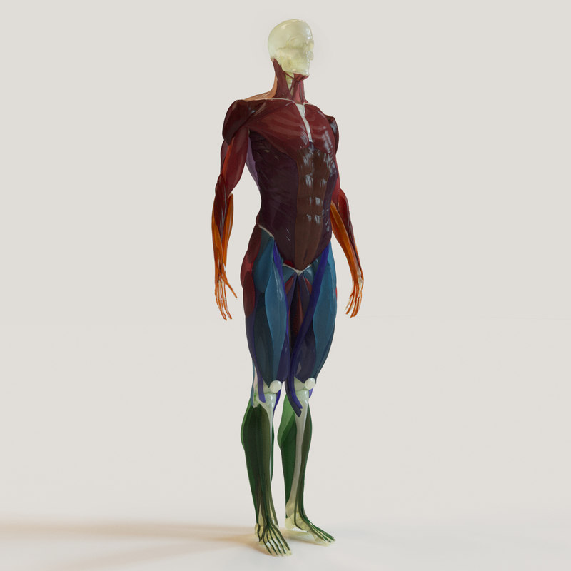 muscles skeleton musculature 3d model