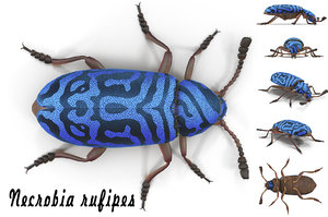 necrobia rufipes beetle 3d model