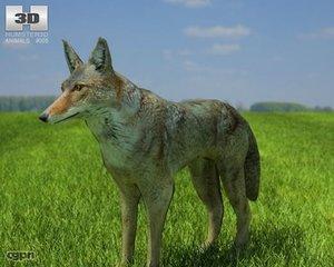 coyote 3d model