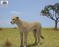 cheetah acinonyx jubatus max