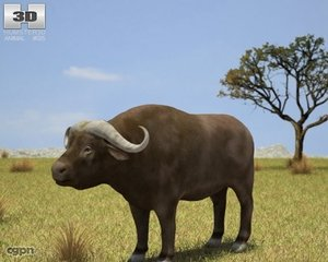 3d model buffalo african syncerus