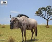 Wildebeest (Connochaetes)