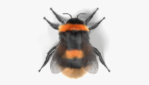 3d bombus terrestris model