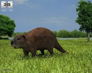 max beaver castor canadensis