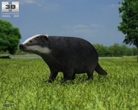 3d badger common meles
