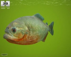 piranha pygocentrus nattereri lwo