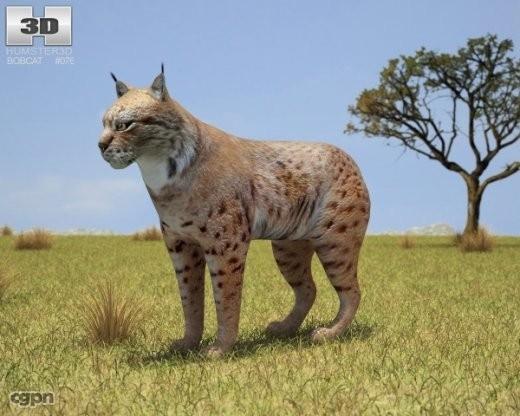 bobcat cat lynx obj