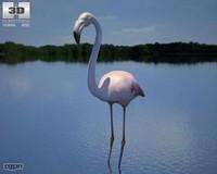 flamingo phoenicopterus c4d