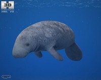 indian manatee manatus 3d max