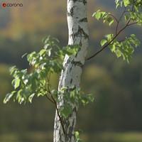 realistic birch tree betula 3d model
