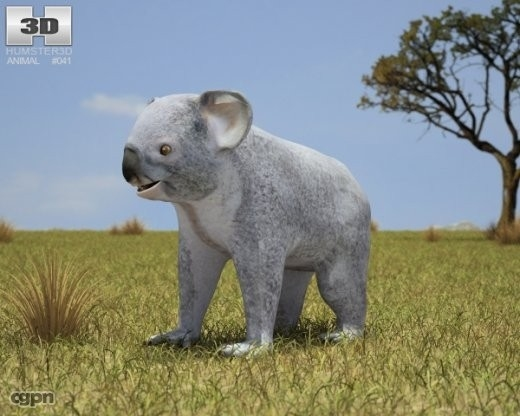 cinereus koala phascolarctos 3d model