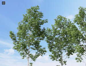 3d realistic birch tree betula model