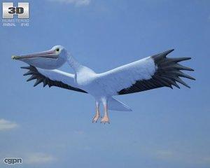 american white pelican max