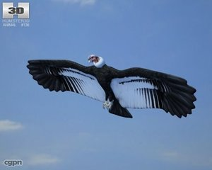 andean condor gryphus 3d model