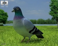 columba livia dove 3d 3ds