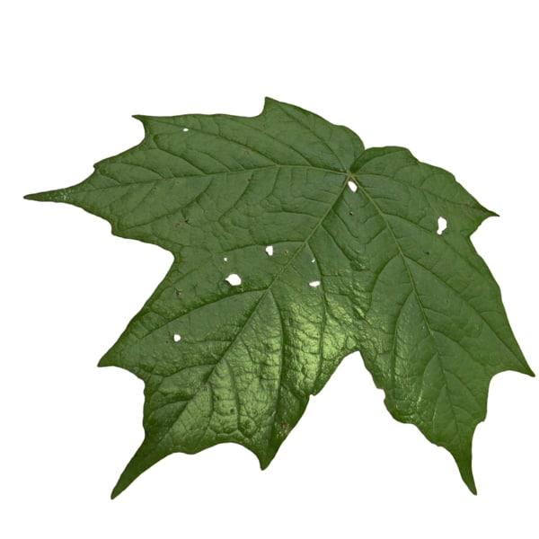 3d realistic leaf