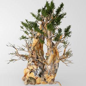 bristlecone pine max
