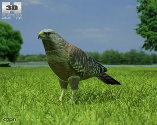 buteo lineatus hawk 3ds