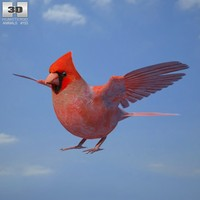north northern cardinal 3d obj