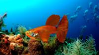 3d guppy fish model